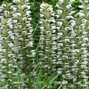 acanthus mollis morning candle