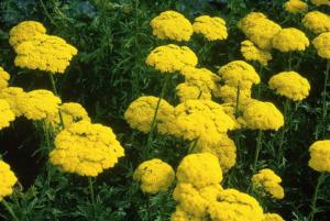 achillea filipendul. cloth gold