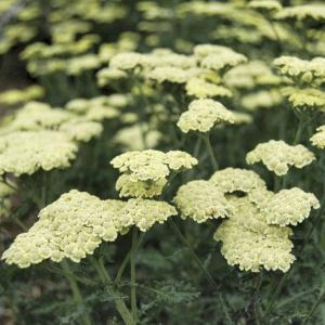 achillea moon dust