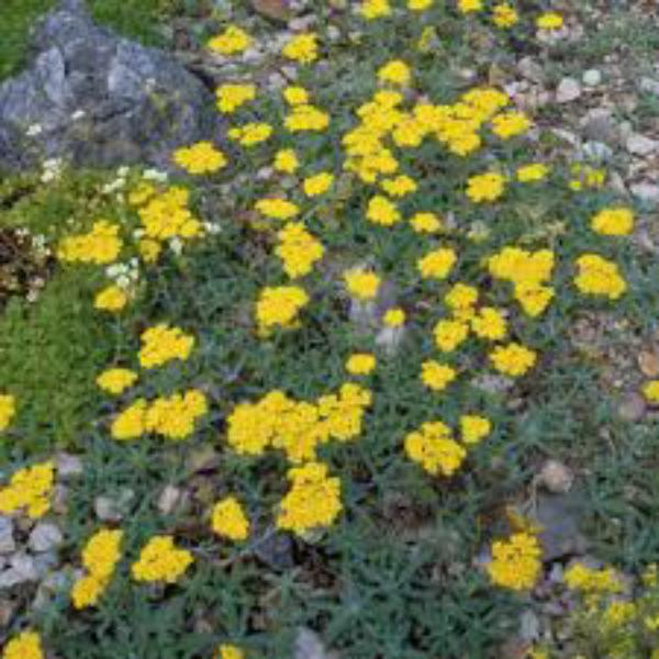 fiori gialli tappezzanti