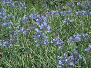 agapanthus mini blue