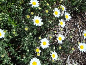anthemis carpatica