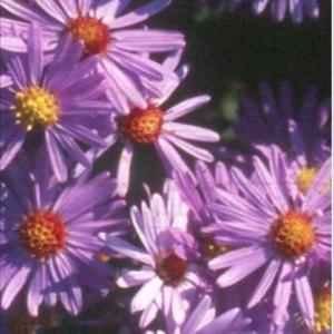 aster dumosus wood%91s purple
