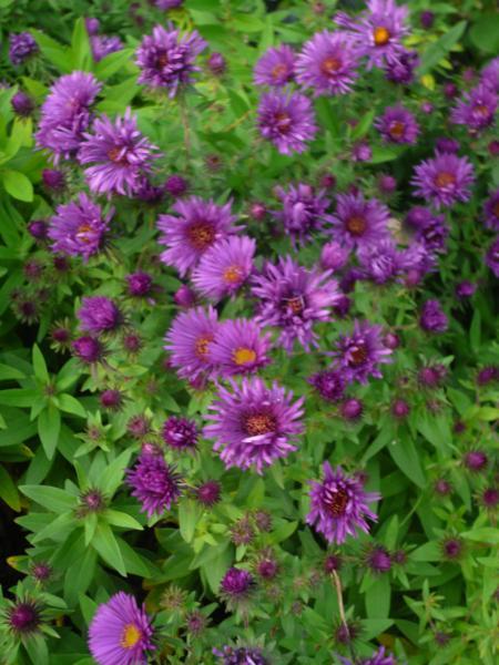 Capecchi vivai piante pistoia - Aster pianta ...