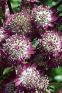 astrantia major star of beauty