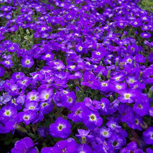 aubrieta axcent blue with eye