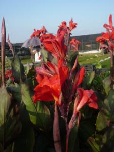 canna red king humbert