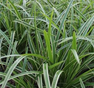 carex morrowii vanilla ice