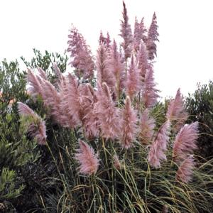 cortaderia sell. scarlet wonder