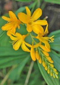 crocosmia yellow flare