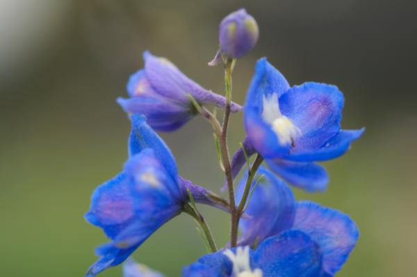 delphinium pacific blue bird