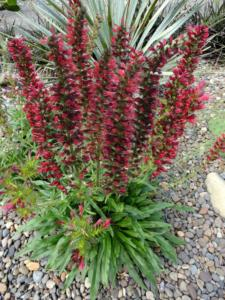echium amoenum red feathers