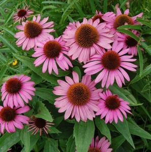 echinacea purp. kim%91s knee high