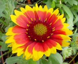 gaillardia arizona sun