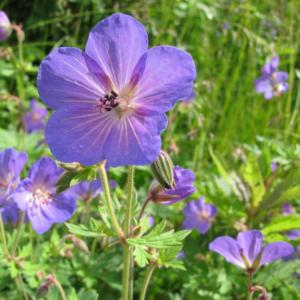 geranium grandifl. johnson blue