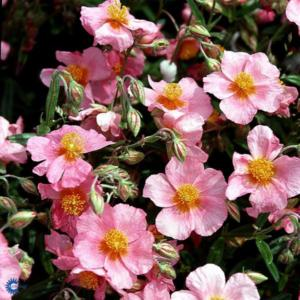 helianthemum lawrensons pink
