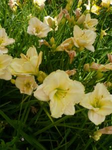 hemerocallis artic snow