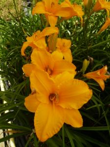 hemerocallis bill norris