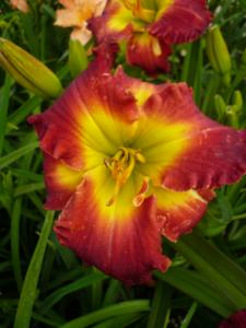 hemerocallis dragon king