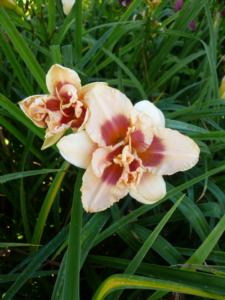 hemerocallis forty second street