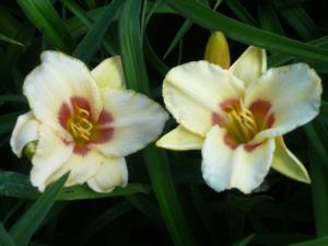 hemerocallis pandora%91s box