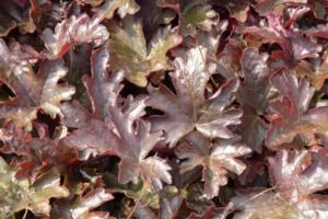 heucherella burnished bronze