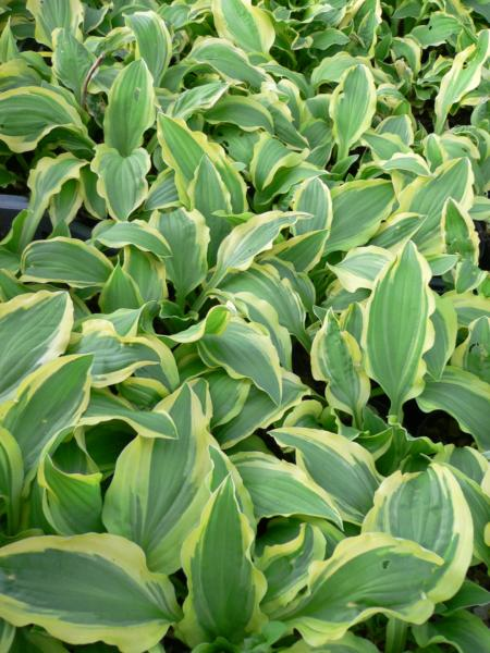 hosta ground master