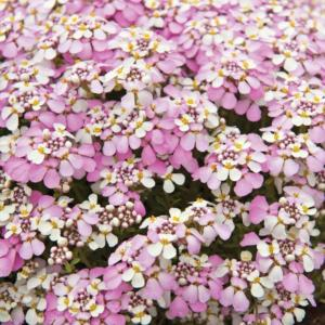 iberis sempervirens pink ice