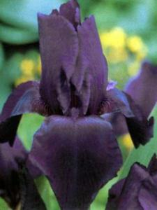 iris germanica black knight