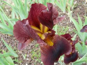 iris germanica caliente