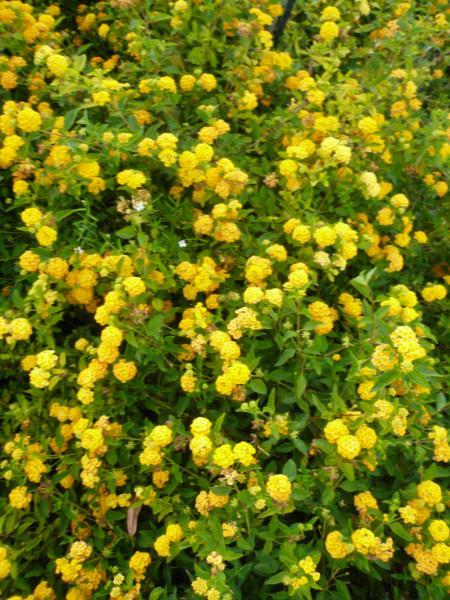 Capecchi vivai piante pistoia for Lantana strisciante