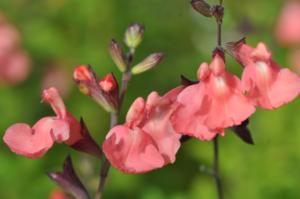 salvia greggii salmon dance
