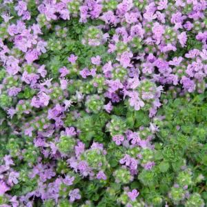 thymus praecox minor