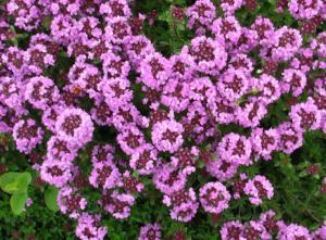 thymus serpyllum magic carpet