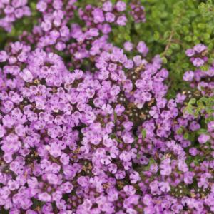 thymus serpyllum russettings